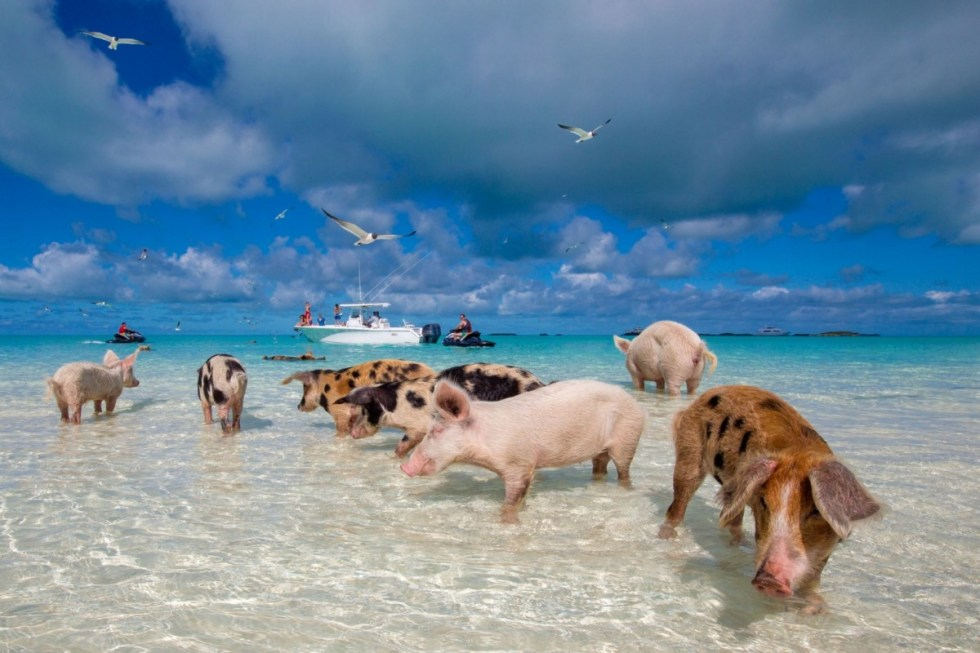 "The ""domesticated"" swimming pigs of The Exuma Cays"