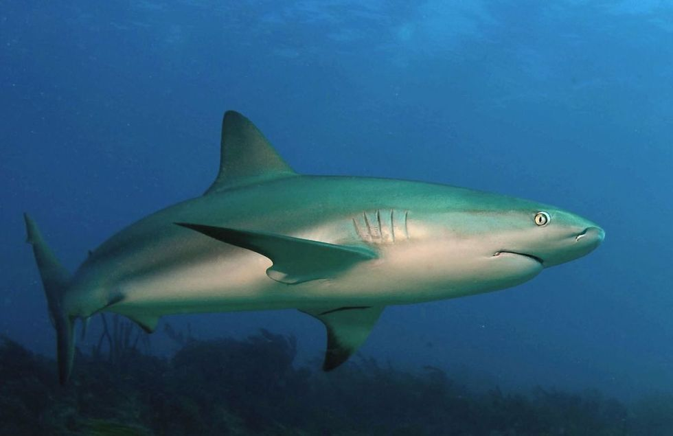 """""""Carcharhinus perezii,"""" also known as the """"Caribbean reef shark"""" is a speciesofrequiem shark that can be spottedin the mesmerizing waters of the westernAtlantic Oceanfrom Brazil to Florida."""