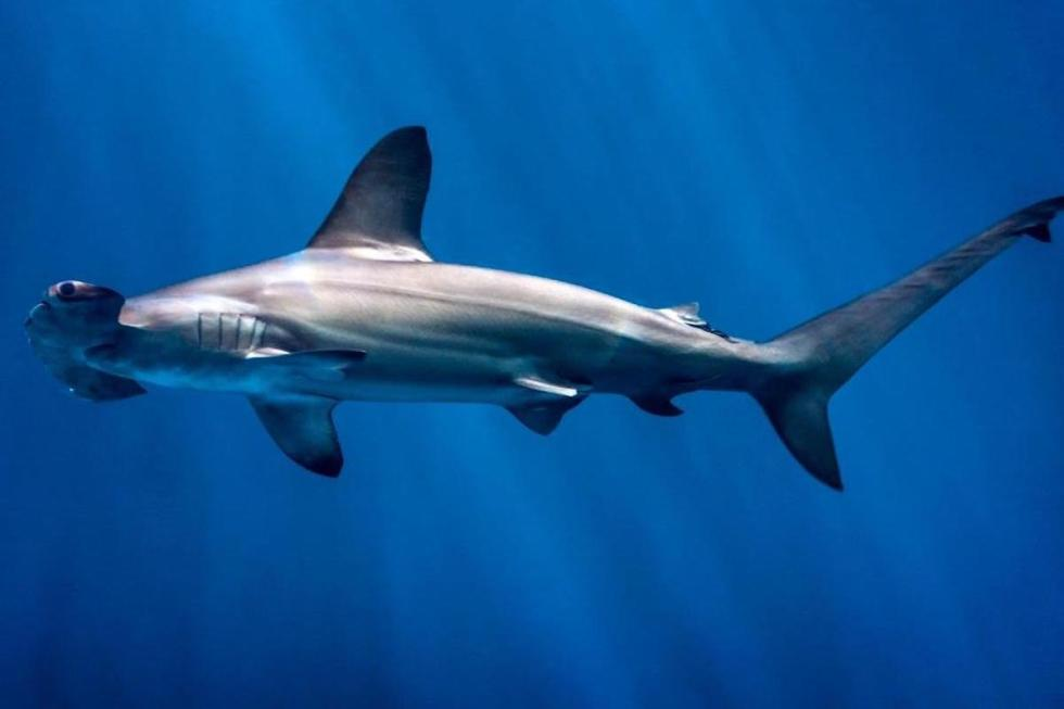 "The hammerhead sharks with the distinctive ""hammer"" shaped heads can be found worldwide in warmer waters."