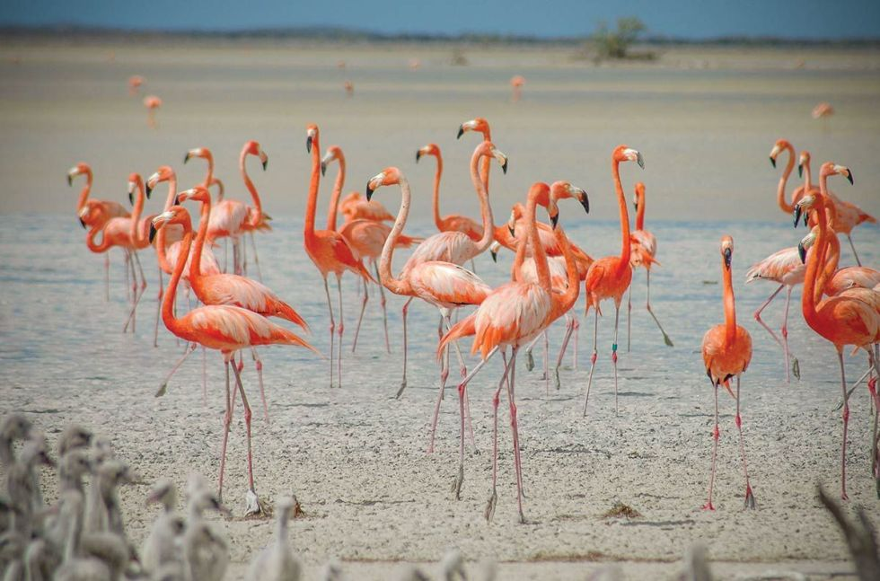 West Indian flamingos on Great Inagua, The Bahamas