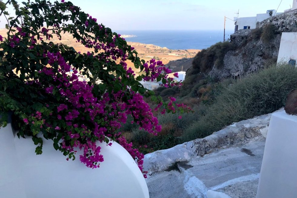 Beautiful bougainvillea flowers blooming in Santorini