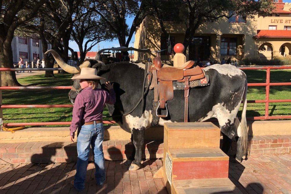 A young cowboy and a cattle in the Fort Worth Stockyards, Texas