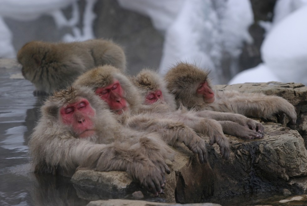 Snow monkeys in Japan relaxing in the water