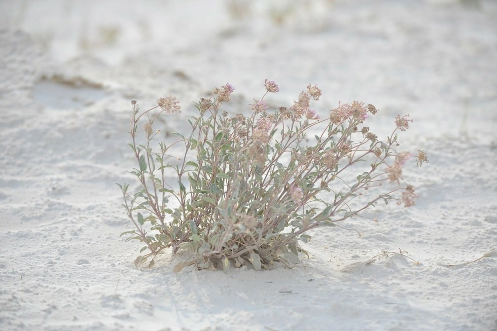 White Sands National Monument wildflower