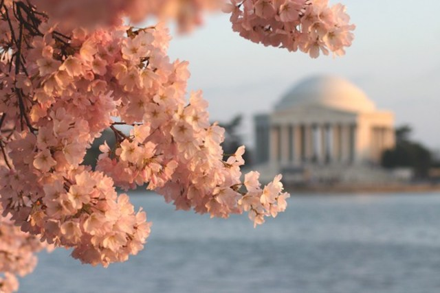 Cherry blossom trees in beautiful bloom around the Tidal Basin region in Washington, D.C.