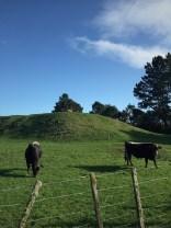 Mooo cows