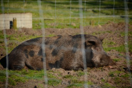 This little piggy likes to stay in the mud.