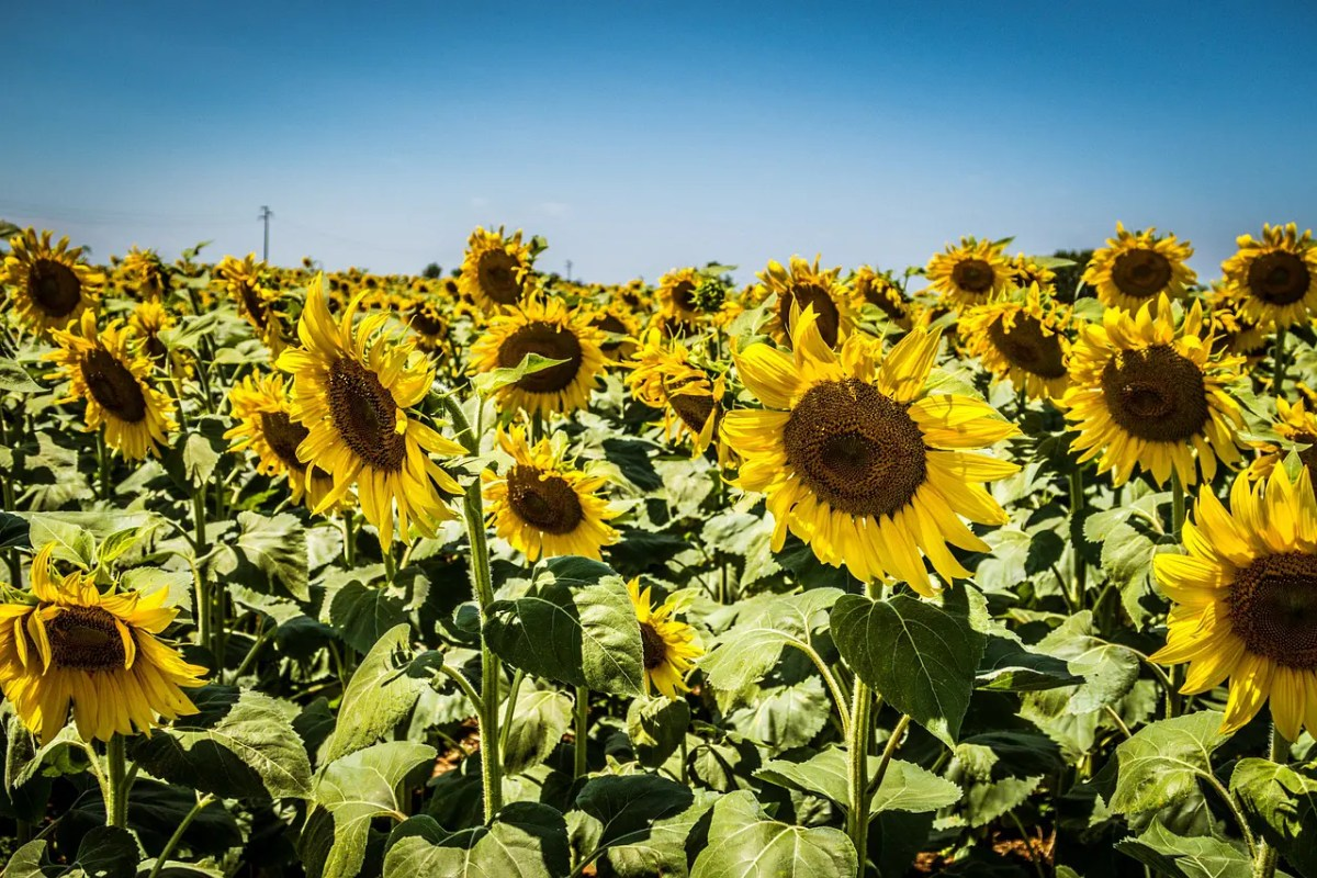 Sunflowers in bloom along the Sunflower Route is one of the best things to see near Warwick and the Southern Downs