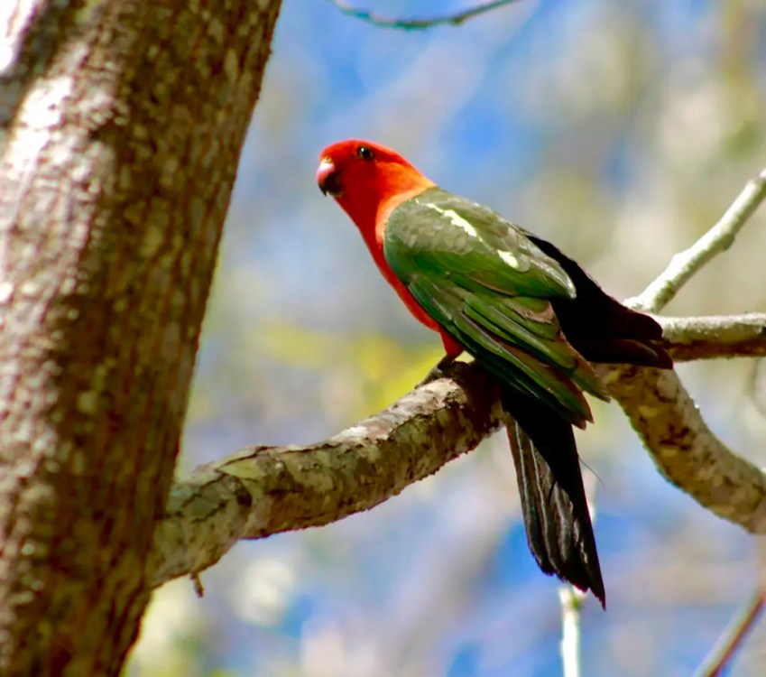 A king parrot sitting on a tree