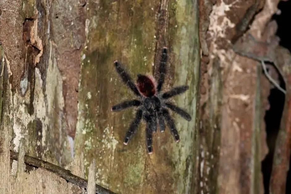 A tarantula in the Amazon jungle on a tree