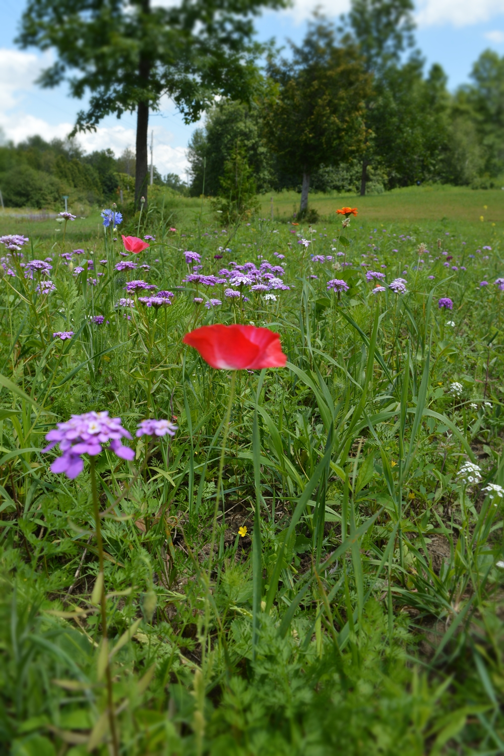 My experiences growing a wildflower meadow