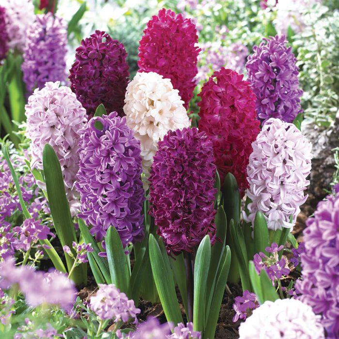 smoothie hyacinth veseys seeds