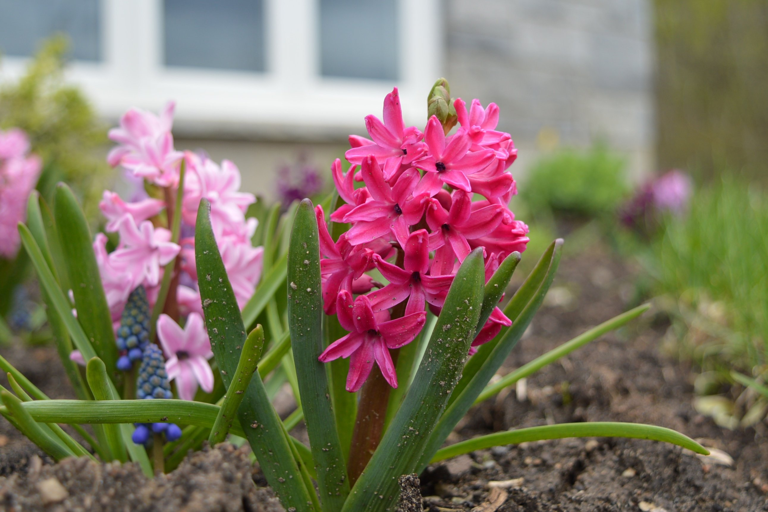 how to plant hyacinths
