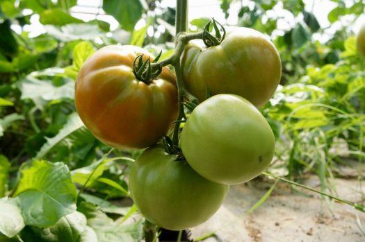 Garden Sheers - Tomatoes