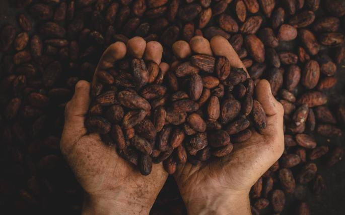 Hands full of cacao beans to supply fair trade chocolate brands.