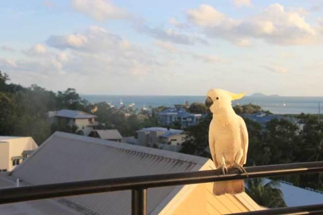 whitsundays-airlie-cockatoo