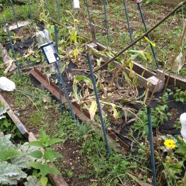 This is what damage was done by suspected badgers to the sweetcorn