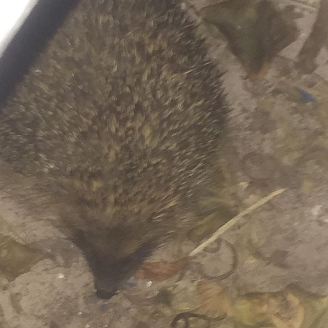 Our friendly garden hedgehog