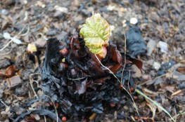 Early rhubarb showing signs of growth
