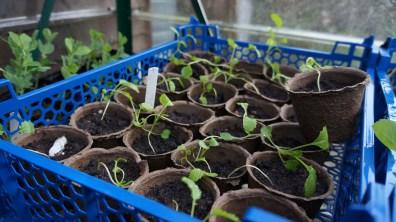 Kale seedlings.
