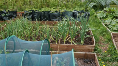 Garlic growing well