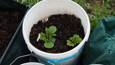 Potatoes growing again