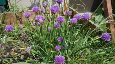 More chive flowers
