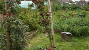 Cider apple tree ready to be picked.