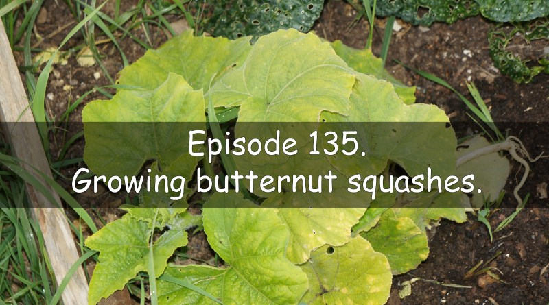 In episode 135 of the veg grower podcast I discuss growing butternut squash.