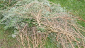 Branches of rosemary.