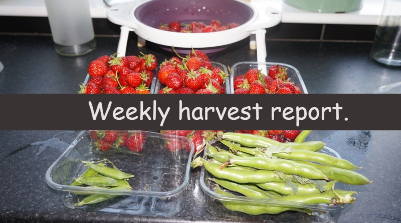 Each week I like to share a weekly harvest report where I share what I have harvested and how much that would have cost me from a shop.