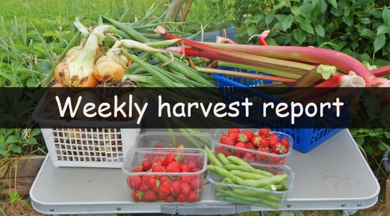Each week I like to share the weekly harvest report. Recording and sharing what has been harvested in the last week and seeing how much that would have cost us to buy from a shop.
