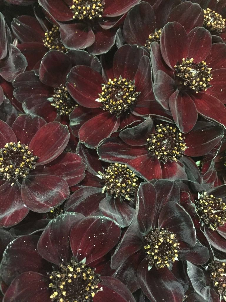 chocolate cosmos autumn wedding flowers