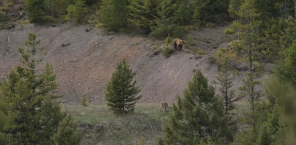 Watch Awesome Footage of a Mountain Lion and Bear Encounter The Venatic