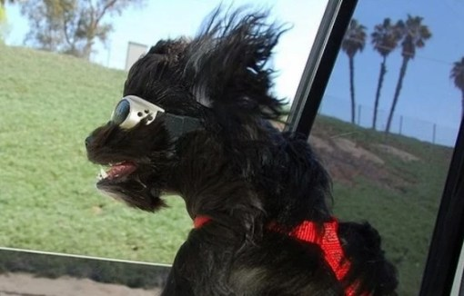 Black dog with Goggles on, Hanging Out a Car Window in the Wind