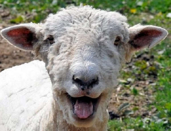 Ten of the Funniest Images of Sheep You Will Ever See