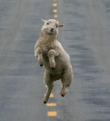 Lamb jumping in the road