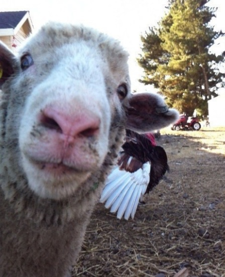 Sheep Photobombing