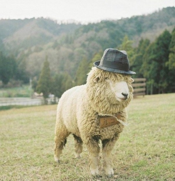 Sheep wearing a hat