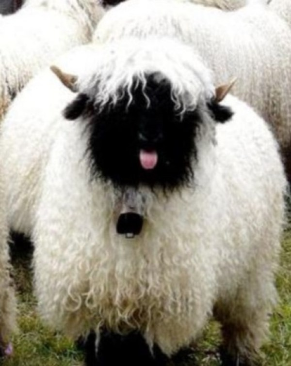 Sheep Poking its tongue out