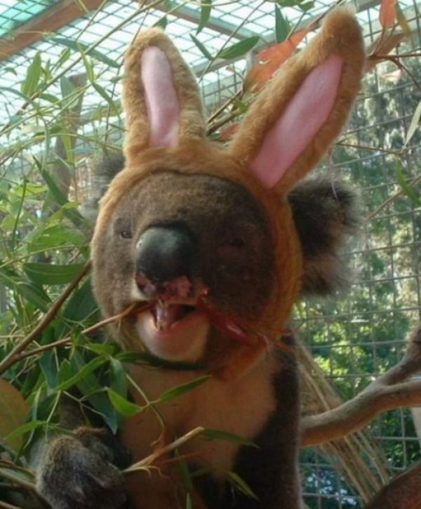 Koala Bear Dressed as the Easter Bunny