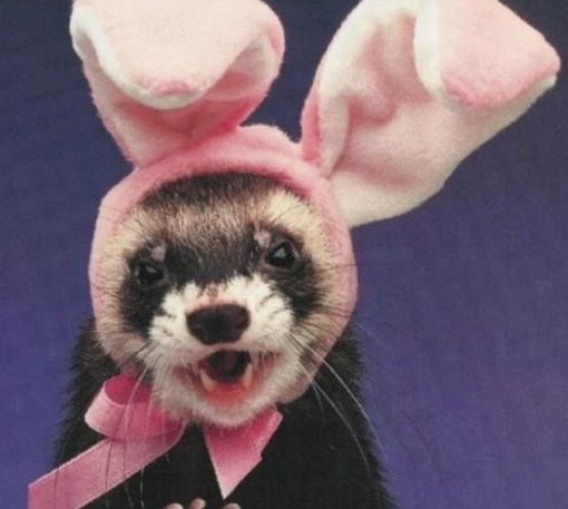 Ferret Dressed as the Easter Bunny