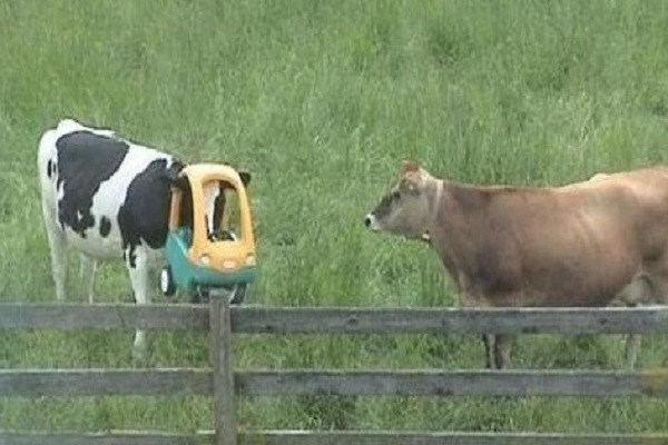 Ten Poor Cows Who Have Managed To Get Their Heads Stuck