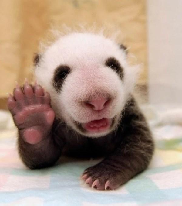 Baby Panda Waving Hello