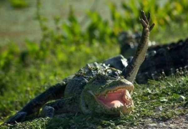 Crocodile Waving Hello