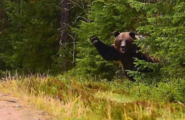 Brown Woodland Bear Waving Hello