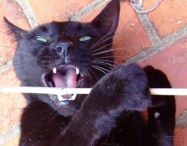Cat playing flute