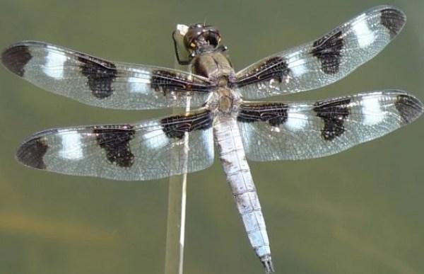 Twelve-spotted Skimmer - Libellula pulchella