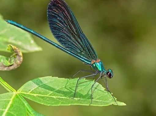 The Beautiful Demoiselle - Calopteryx virgo