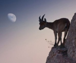 Ten Great Photos of Goats Climbing on Various Things